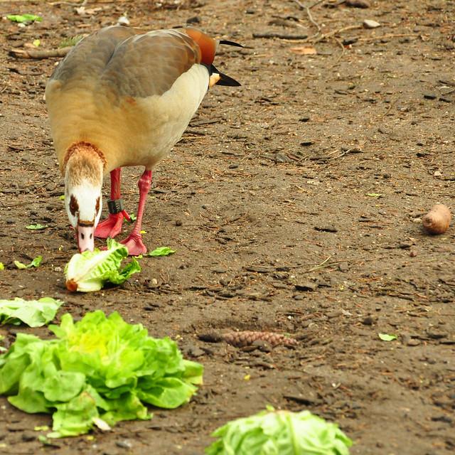 Januar 2020 ... Winterruhe im Tierpark Walldorf ... Frische Salatblätter für die Wasservögel ... Brigitte Stolle