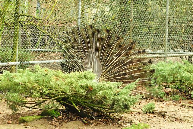 Januar 2020 ... Winterruhe im Tierpark Walldorf ... Pfauenrad ... Brigitte Stolle