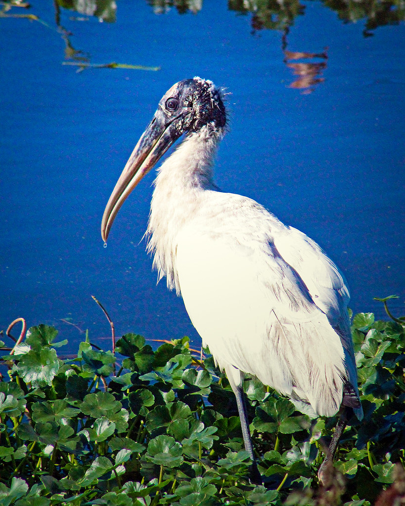 2019.12.31 Sweetwater Wetlands Wood Stork 4