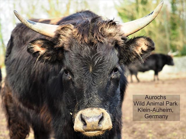 Auer-Ochse in Germany - Seen in the Wild Animal Park Alte Fasanerie in Hanau-Klein-Auheim