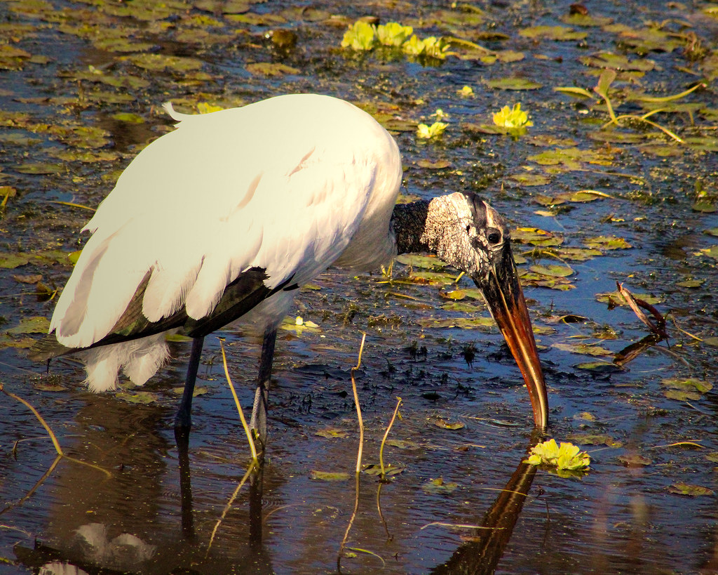 2019.12.31 Sweetwater Wetlands Wood Stork 3