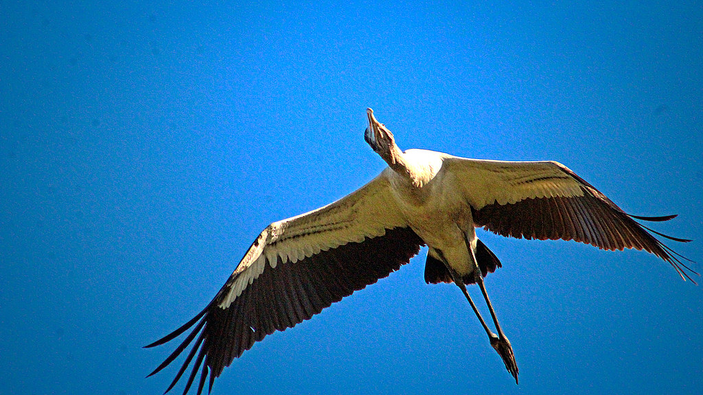 2019.12.31 Sweetwater Wetlands Wood Stork 2