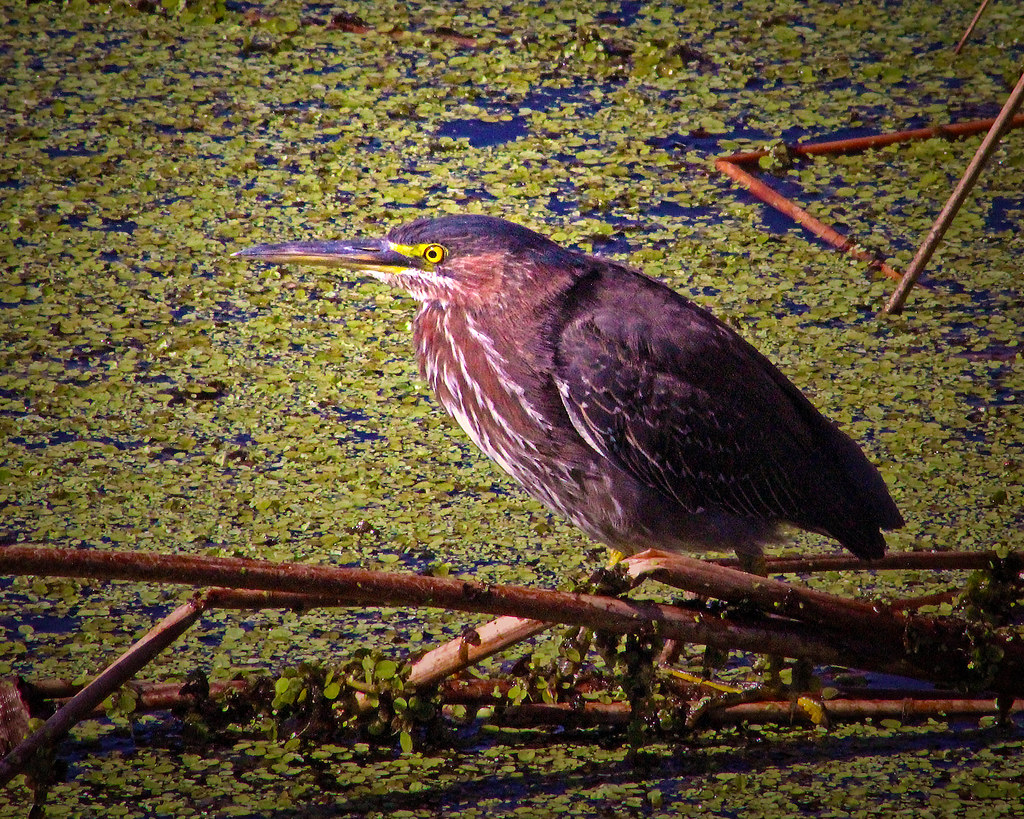 2019.12.31 Sweetwater Wetlands Green Heron 1