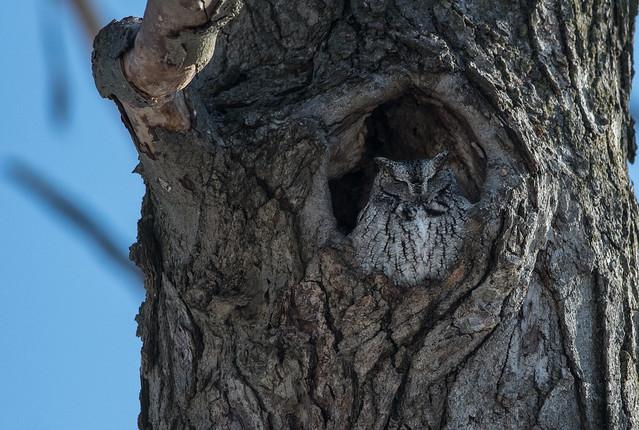 Petit duc maculé/Eastern screech owl-_PM33679