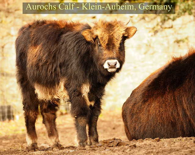 Aurochs-Calf in the Wild Animal Park Klein-Auheim (Hanau) in Germany