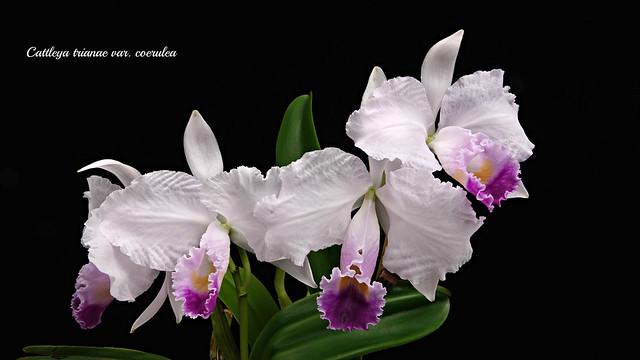 Cattleya trianae var. coerulea