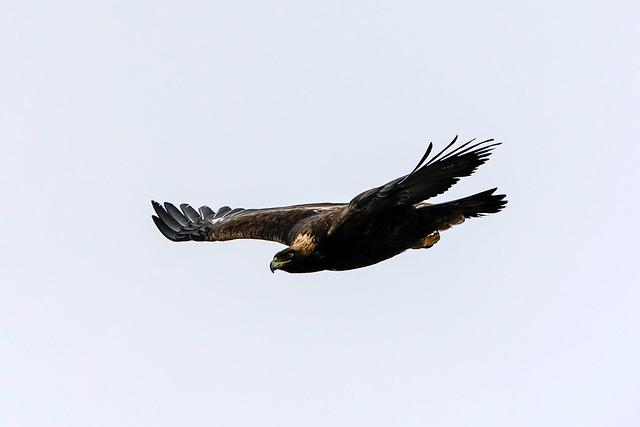 Overcast - Golden Eagle Flight