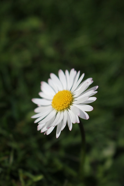 Bellis light