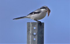 2020.01.30.6541 Loggerhead Shrike