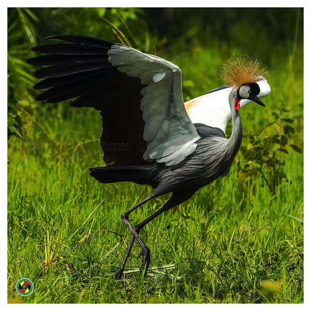 Created Crane - Balearica regulorum