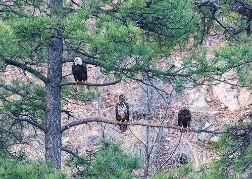 3_bald_eagles-20200129-100