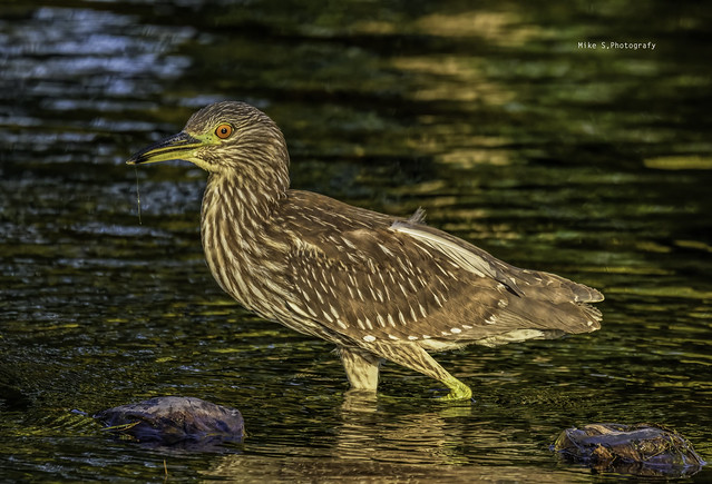 Black -crowned night heron (juvenile)