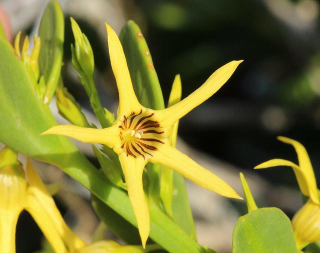 Yellow Tailflower