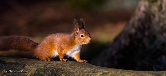 Red Squirrel 23-Jan-20 M_001