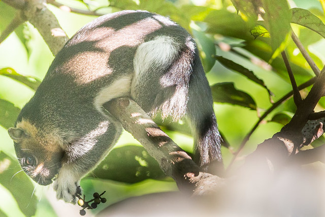Giant Tree squirrel