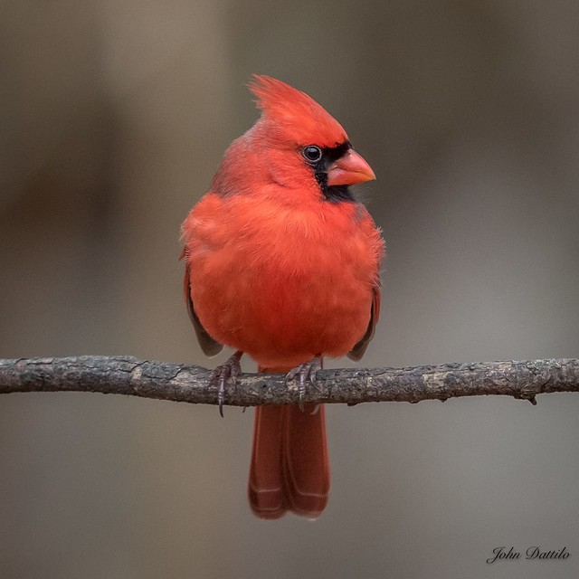 Muscatatuck Male Northern Cardinal