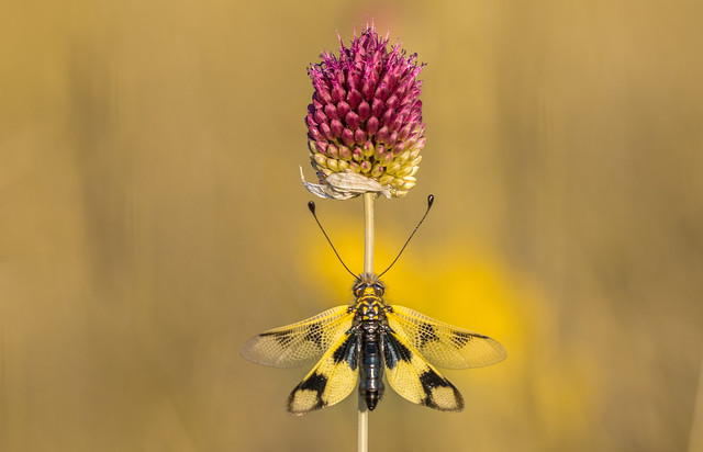 Keleti rablópille (Libelloides macaronius)