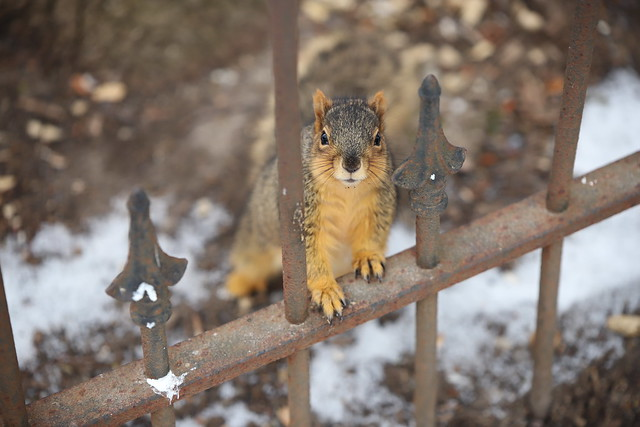 Fox Squirrels on a Cold Winter's Day in Ann Arbor at the University of Michigan - January 30th, 2020