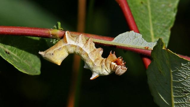 Pebble Prominent Moth Caterpillar - Notodonta ziczac