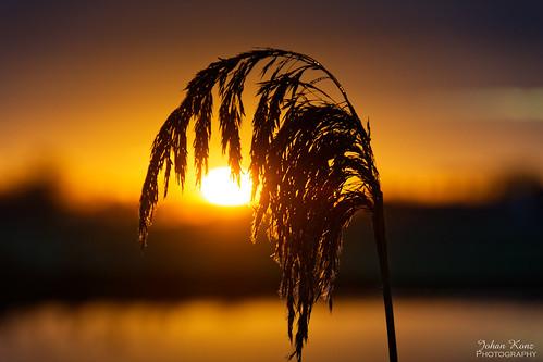 winter reed sunrise landscape waterland netherlands nikon d7500 bokeh bestcapturesaoi elitegalleryaoi aoi