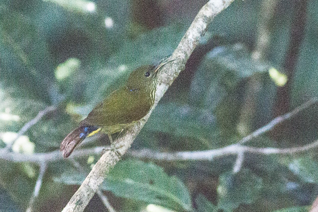 Purple-naped Sunbird