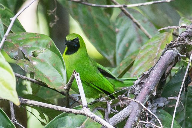 Lesser Green Leafbird  - male