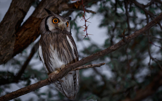 Southern-White Faced Shops Owl