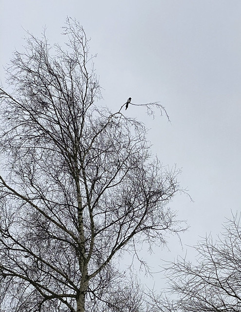 magpiesnow_0615