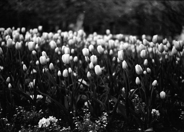 Parisian Tulips