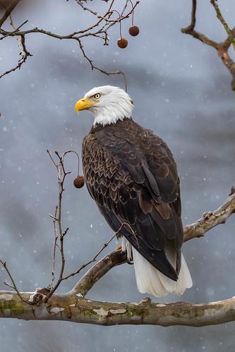 loveland ohio snowing sycamoretree lakeisabella places baldeagle birds hamiltoncounty