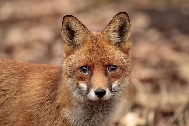 Sticky eyed Vixen