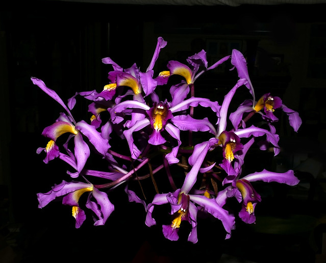 back to orchids, Laelia superbiens species orchid