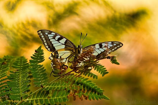 Papillon machaon - Machaon - Old World swallowtail