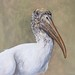 Wood Stork, oil on board, 9 x 12 in. Jan. 2020.