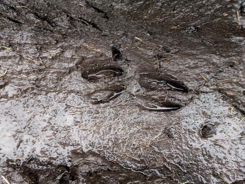 deer hoof prints Jan 20 (1)