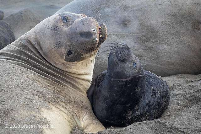 Mother Elephant Seal Shares A Moment With Her Pup