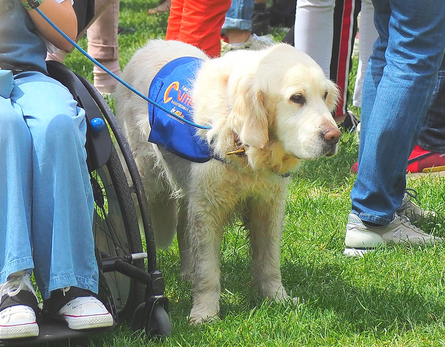 Germany - Dog, trained to assist handicapped people in Wiesbaden-Biebrich during the Horse Show 2019