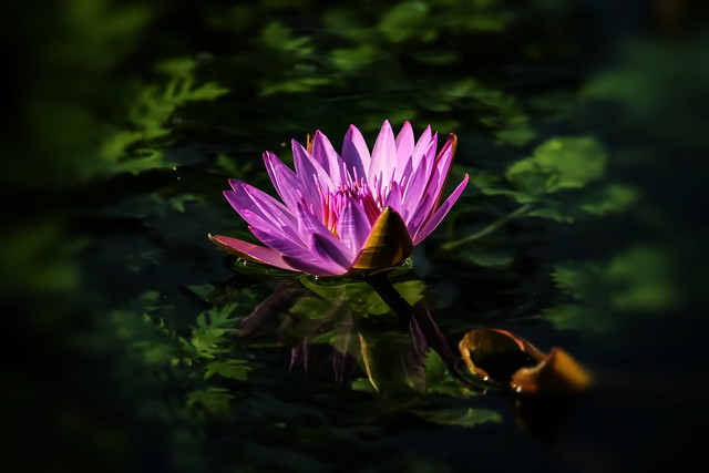 Water lily 💕