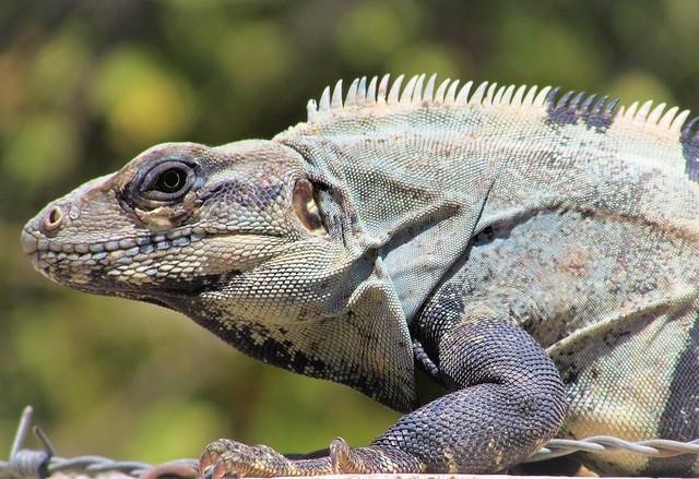 Island iguana