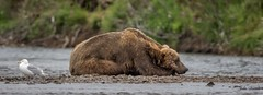 Grizzly tipping...so much more exciting than cows!