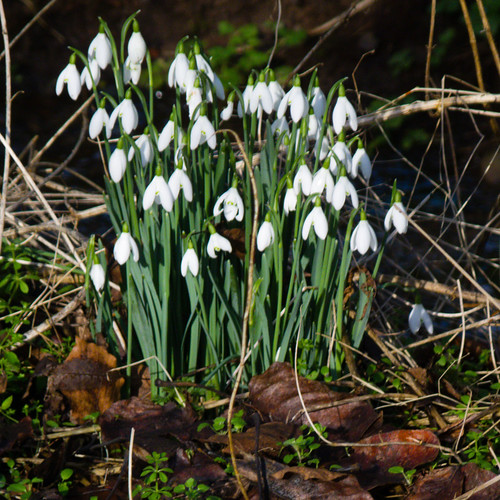 Winter flowers: snowdrops