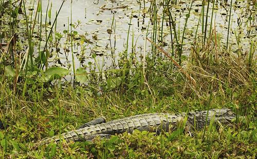 orlandowetlandspark christmas florida wetland walldecor photography fujifilmxt1 tamronsp3580mmspadaptall sammysantiago samuelsantiago fineart alligator