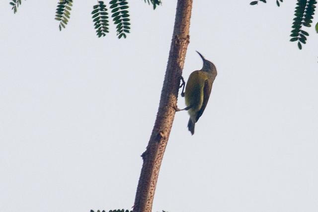 Red-throated Sunbird  - female