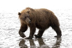 Who's Afraid of a Big Bad Bear?