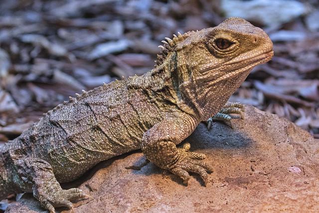 Tuatara - Living Fossil