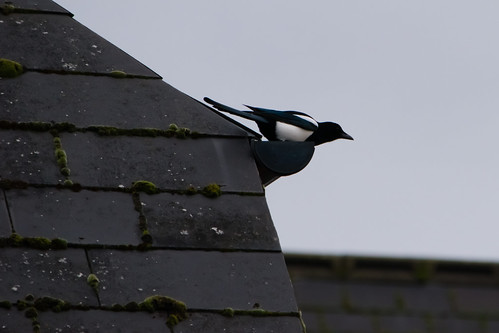 Magpie in guttering