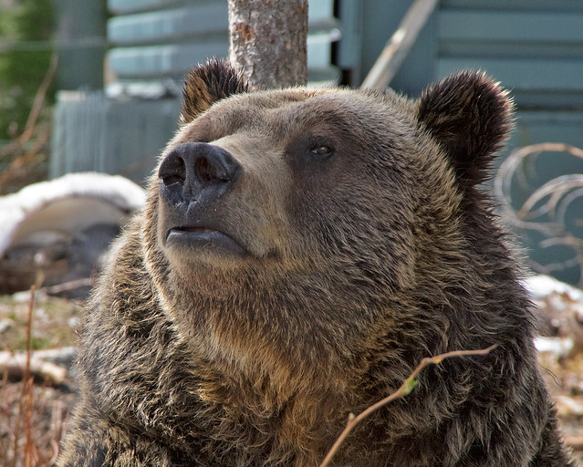 Grizzly Bear. Grouse Mountain Sanctuary, Vancouver, Canada.