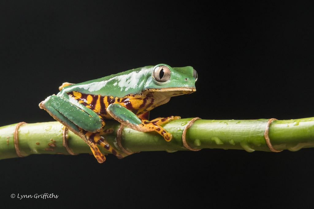 Super Tiger Legged Waxy Monkey Leaf Frog D50_8056.jpg