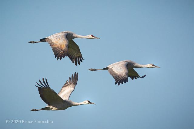 Flying Sandhill Cranes