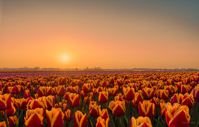 Tulips lining up for the sunset show.
